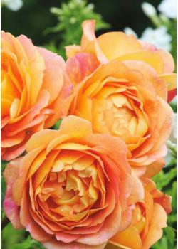 Роза английская Пегас