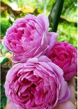 Роза английская Алан Тичмарш