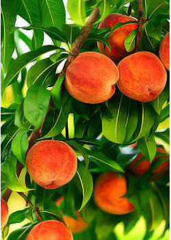 Персик Золотой Юбилей